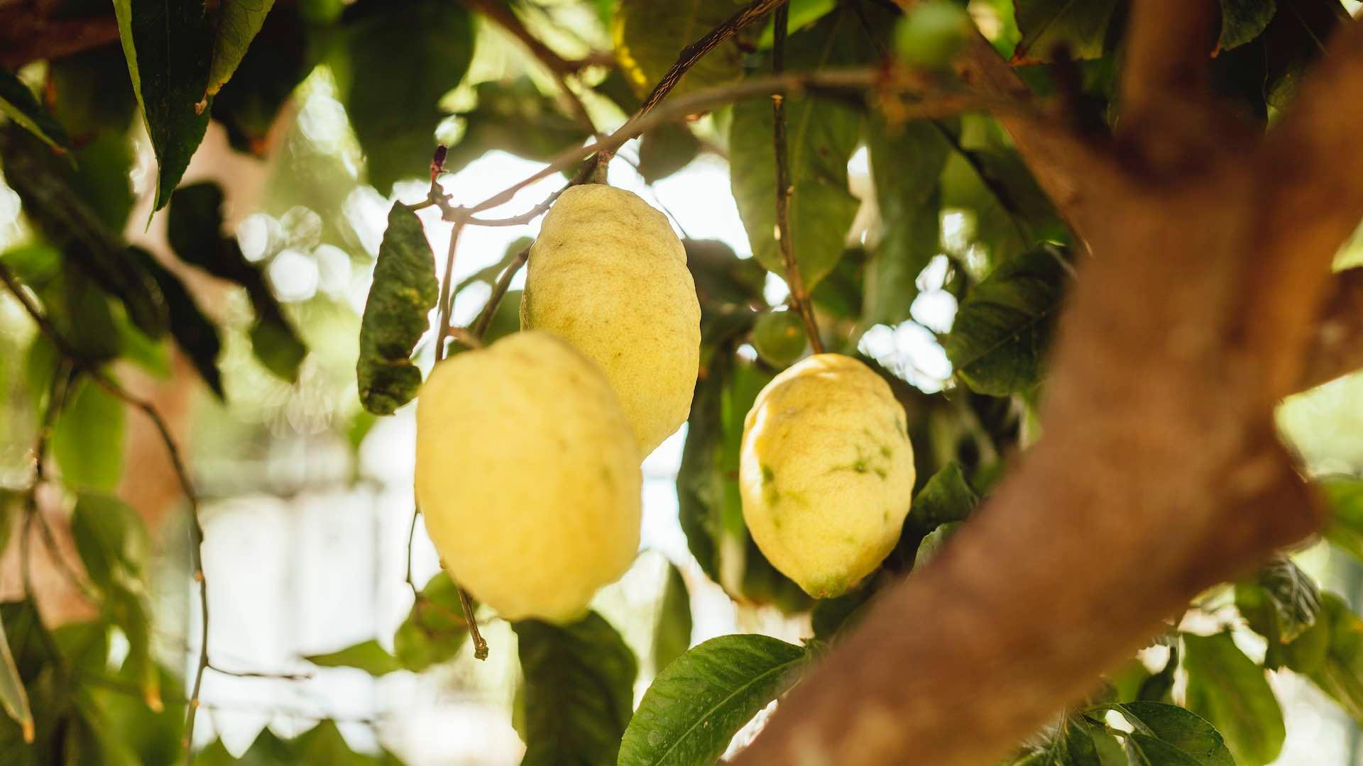Sentiero dei Limoni Amalfitani