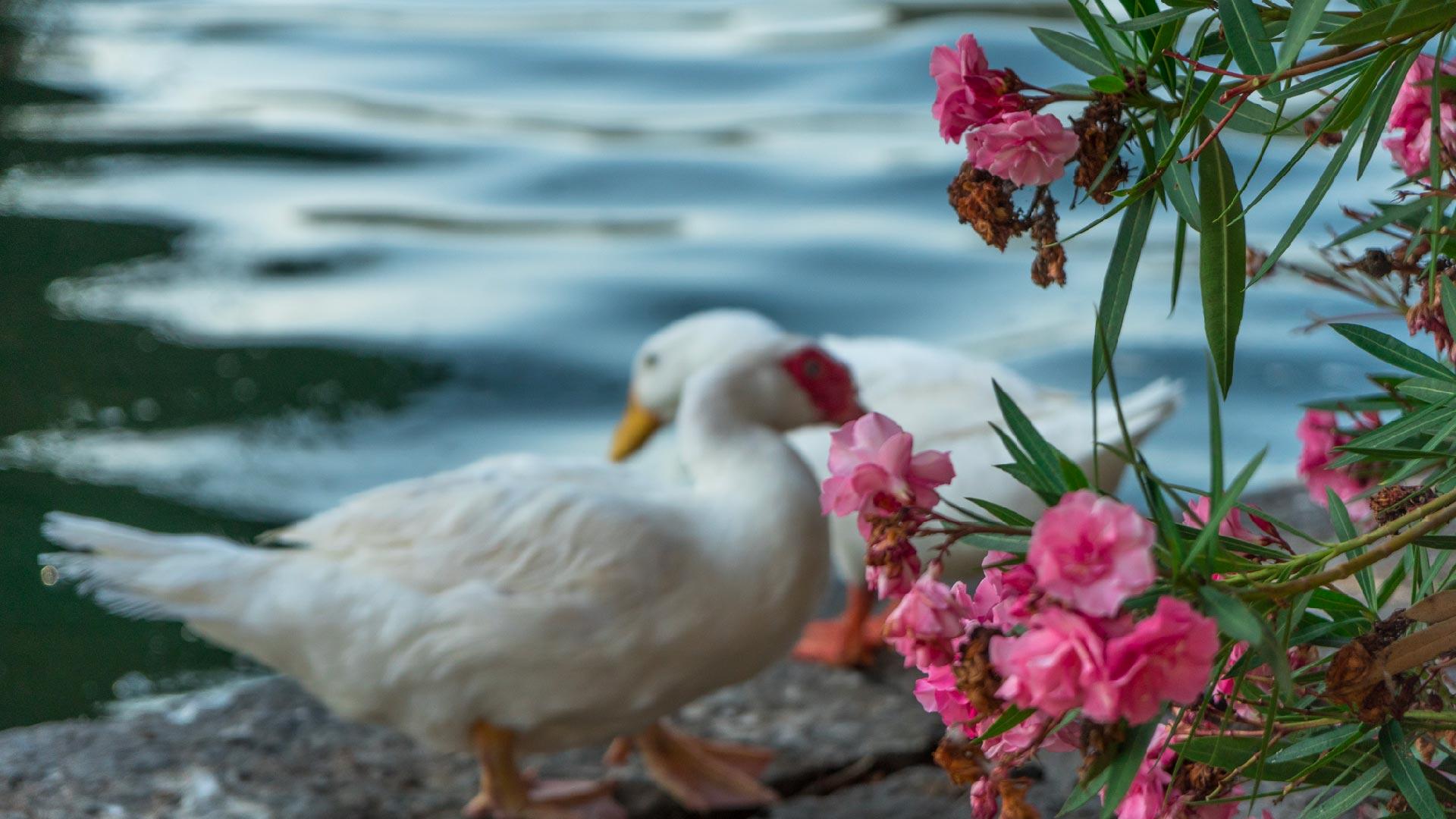 Oca vicino alle acque del Lago d'Averno