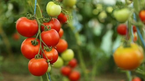 Il pomodoro in Italia